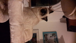 Jasmin, chat Birman