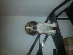 Jasmin, chien Beagle