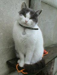 Jasmine, chat Européen