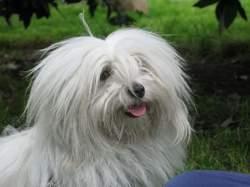 Jasmine, chien Coton de Tuléar