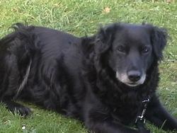 Jasmine, chien Labrador Retriever