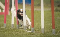 Jasmine, chien Cavalier King Charles Spaniel