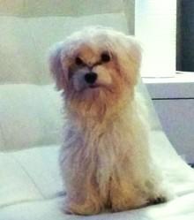 Jasmine, chien Bichon maltais