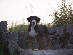 Jasmine, chien Grand bouvier suisse
