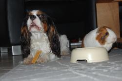 Jasmine Et Frimousse - Photos, chien Cavalier King Charles Spaniel