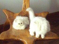 Jasmine Et  Jazz, chat Persan