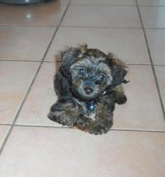 Jason, chien Yorkshire Terrier
