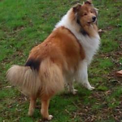 Jason, chien Colley à poil long