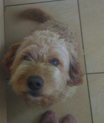 Jasper, chien Setter Gordon