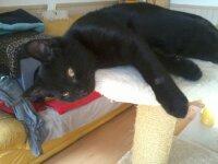 Jasper, chat Européen
