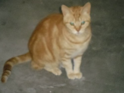 Jaunette, chat Européen