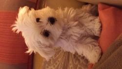 Java, chien Bichon maltais