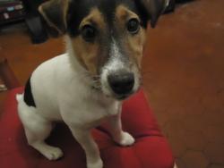 Java, chien Jack Russell Terrier