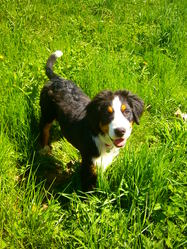 Java, chien Bouvier bernois