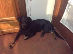 Java, chien Beauceron
