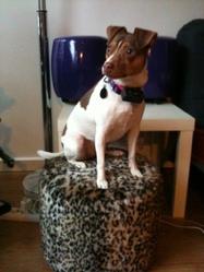 Java, chien Terrier brésilien