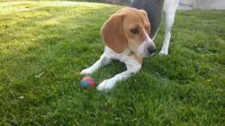 Java, chien Beagle