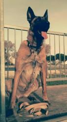 Java, chien Berger belge