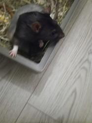 Java Donnée, rongeur Rat