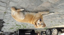 Java, chien Labrador Retriever