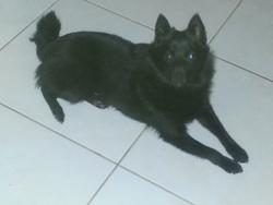 Jawa, chien Schipperke