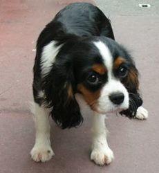 Jax, chien Cavalier King Charles Spaniel