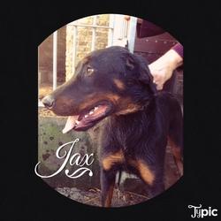 Jax, chien Beauceron