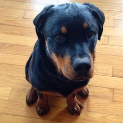 Jax , chien Rottweiler