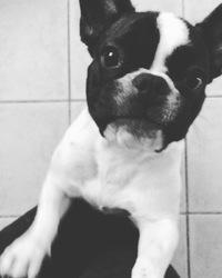 Jax, chien Bouledogue français