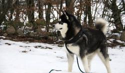Jax, chien Malamute de l'Alaska