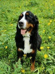 Jay, chien Bouvier bernois
