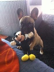 Jah, chien Bouledogue français