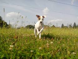 Jay, chien Jack Russell Terrier