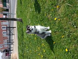 Jay Z, chien Husky sibérien