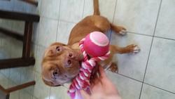 Jaya, chien Dogue de Bordeaux