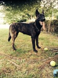 Jaya, chien Berger hollandais
