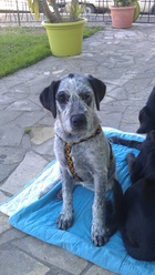 Jaya, chien Dogue allemand