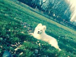 Jaya, chien Samoyède