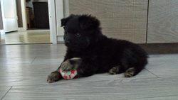 Jaya, chien Spitz allemand