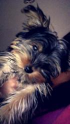 Jaya, chien Yorkshire Terrier