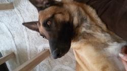Jaya, chien Berger belge