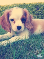 Jaya, chien Cavalier King Charles Spaniel
