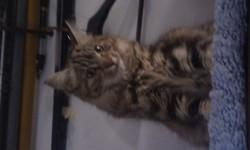 Jaya, chat Gouttière