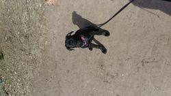 Jaya, chien Cane Corso