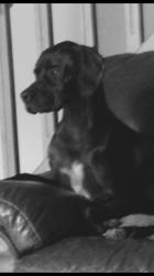 Jaya, chien Pointer anglais
