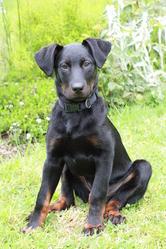 Jaya, chien Beauceron