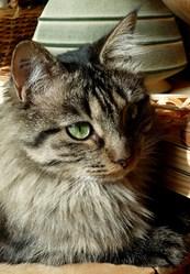 Jaya , chat Gouttière