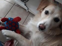 Jayan, chien Golden Retriever