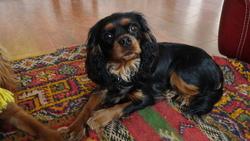 Jayane Des Cavaliers D' Albion, chien Cavalier King Charles Spaniel