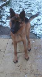 Jaye, chien Berger allemand